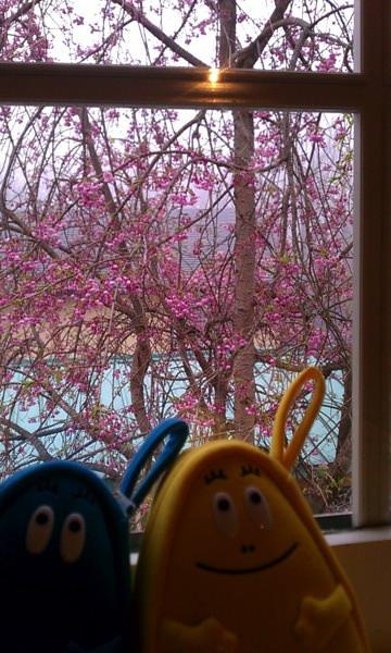 Cherry-blossom ?