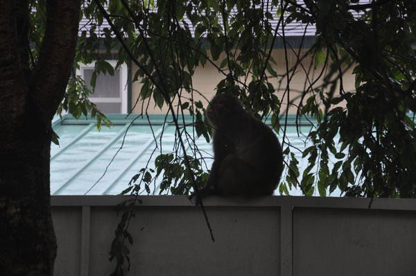 庭に遊びに来た猿の家族