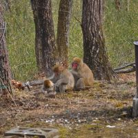 今年も庭に遊びに来た猿の家族