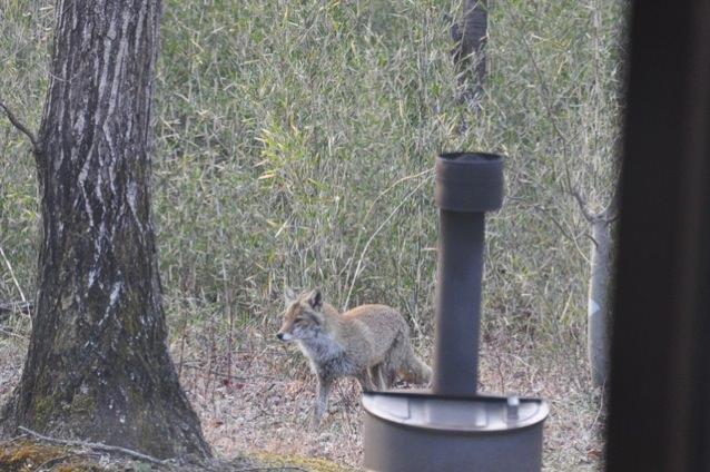 兎おいし狐