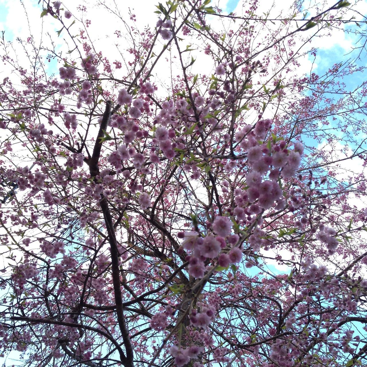 庭の桜(八分咲き)