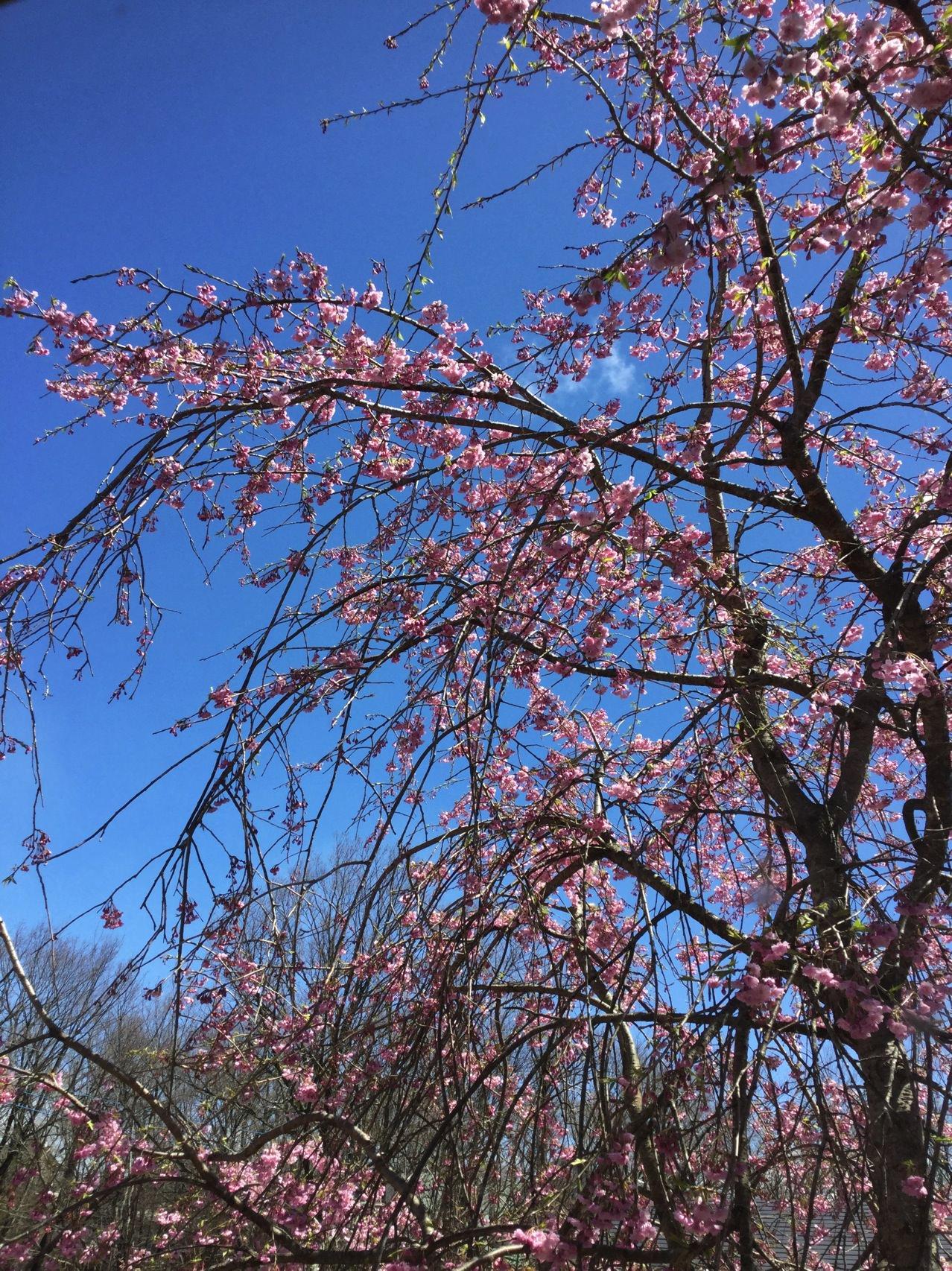 庭の桜(七部咲き)