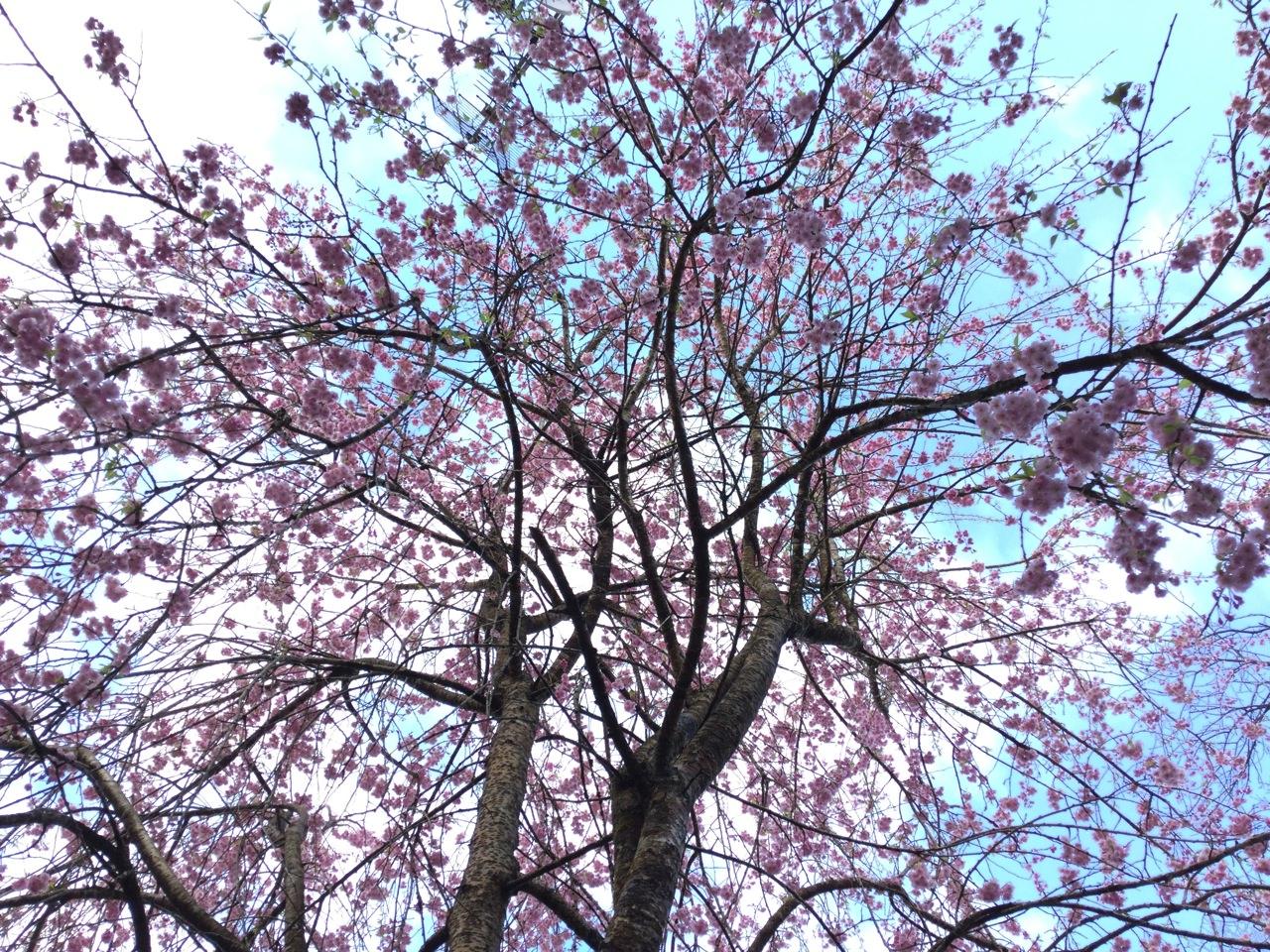 庭の桜(満開)