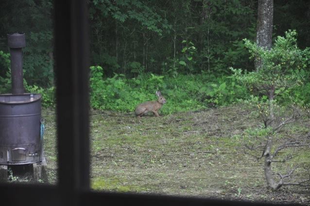 ウサギの来訪