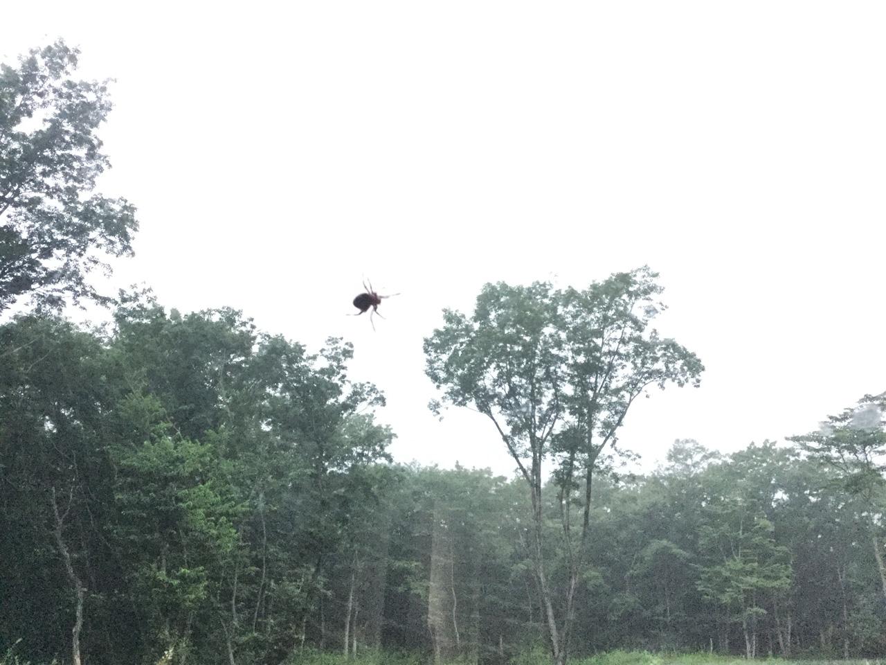 巣を作るクモ