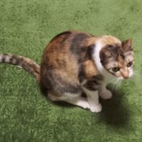 ねこじゃらしに飽きた猫