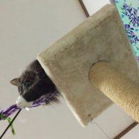 猫じゃらしで遊ぶねこ