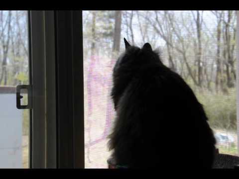 桜が散るのを眺める猫