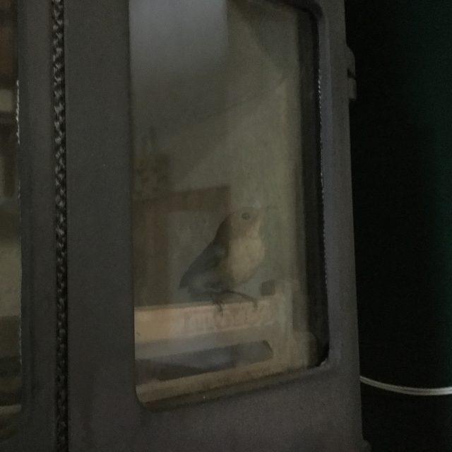 煙突からの迷い鳥