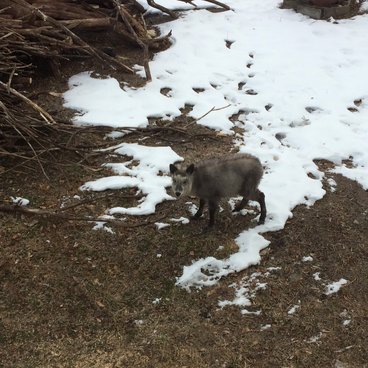 庭の積雪状況及びニホンカモシカの食事