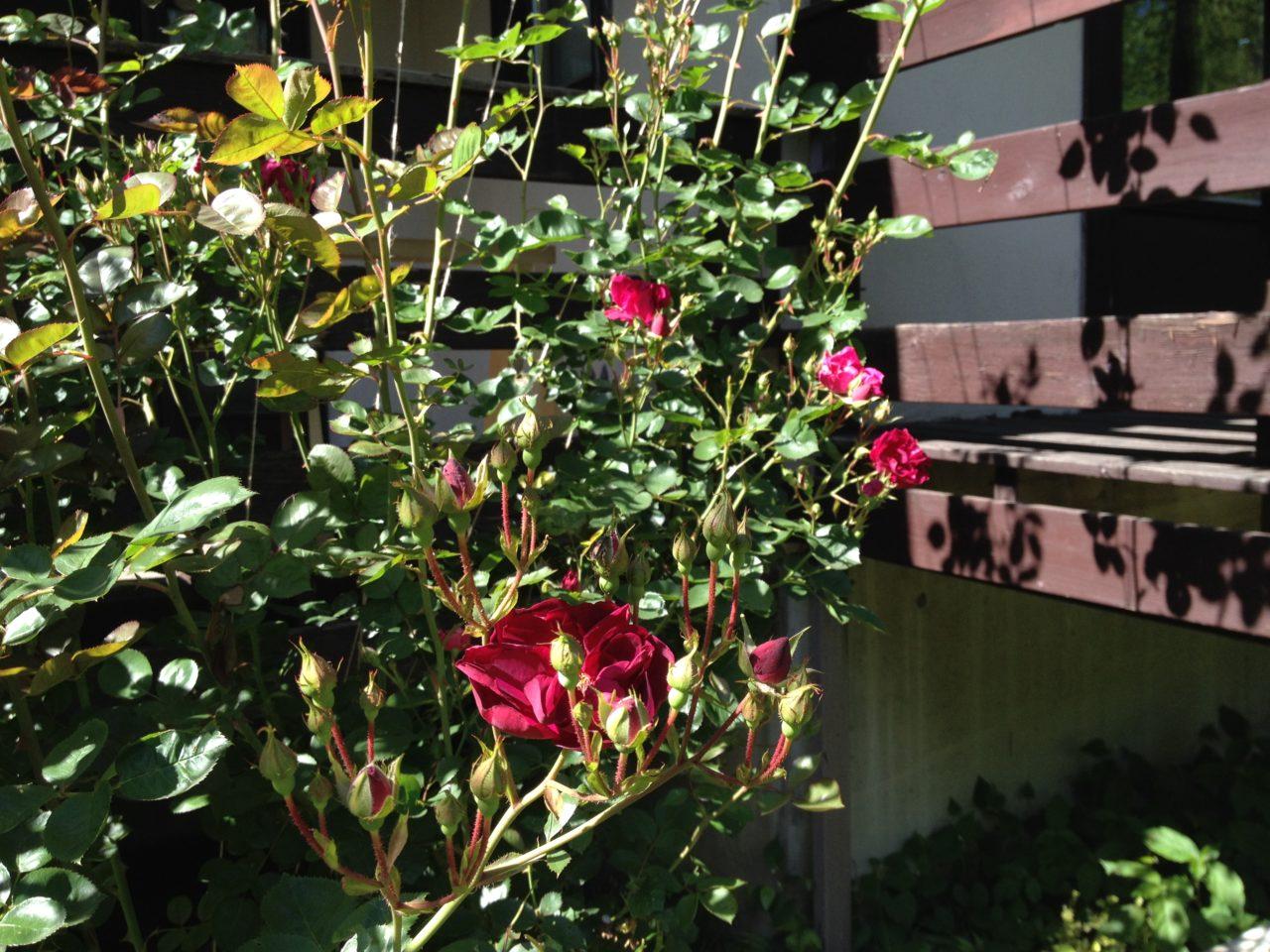薔薇の誘引