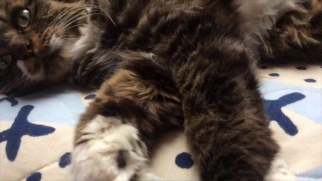 仰向けでごろごろする猫