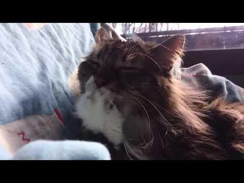 肉球を舐める猫