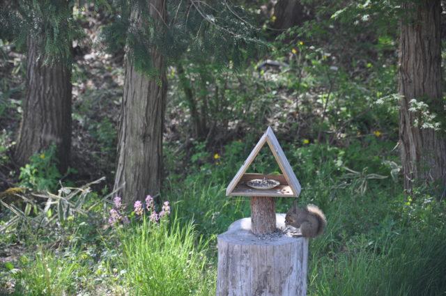 ひまわりの種を食べるニホンリス