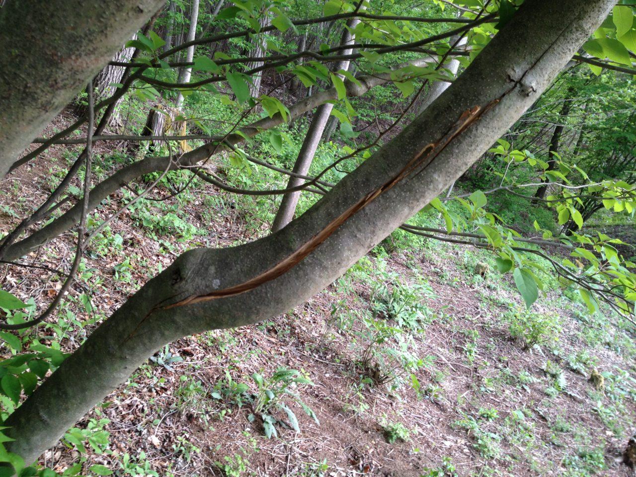 クロモジの添え木