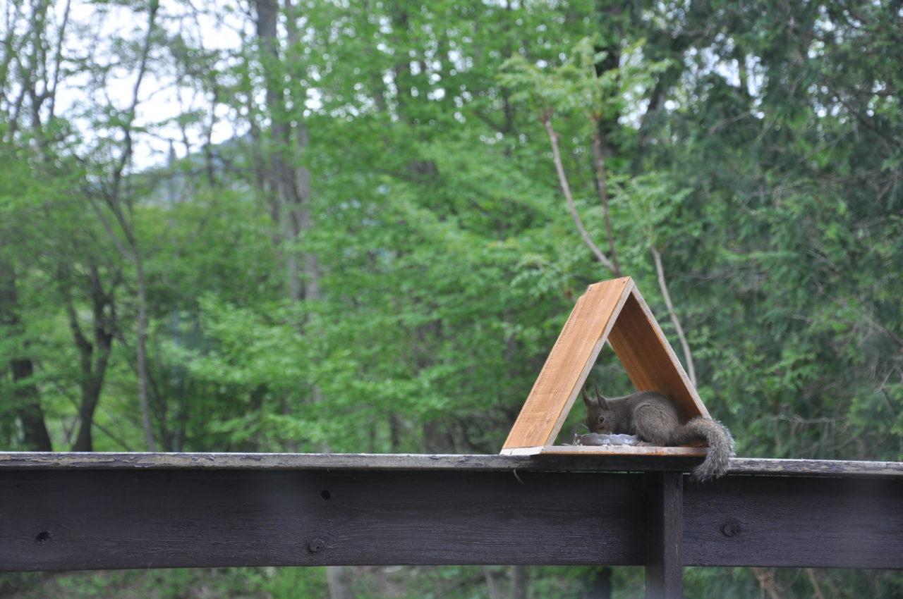 鳥の餌を盗むニホンリス