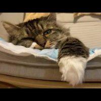 大きな猫が寝る瞬間