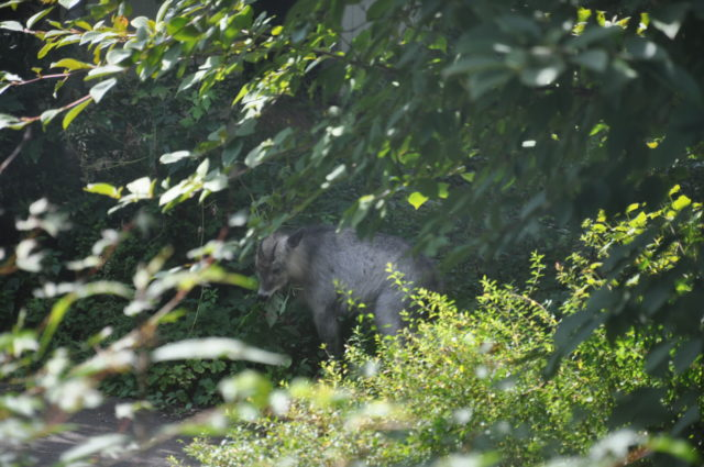 草を食べるニホンカモシカ