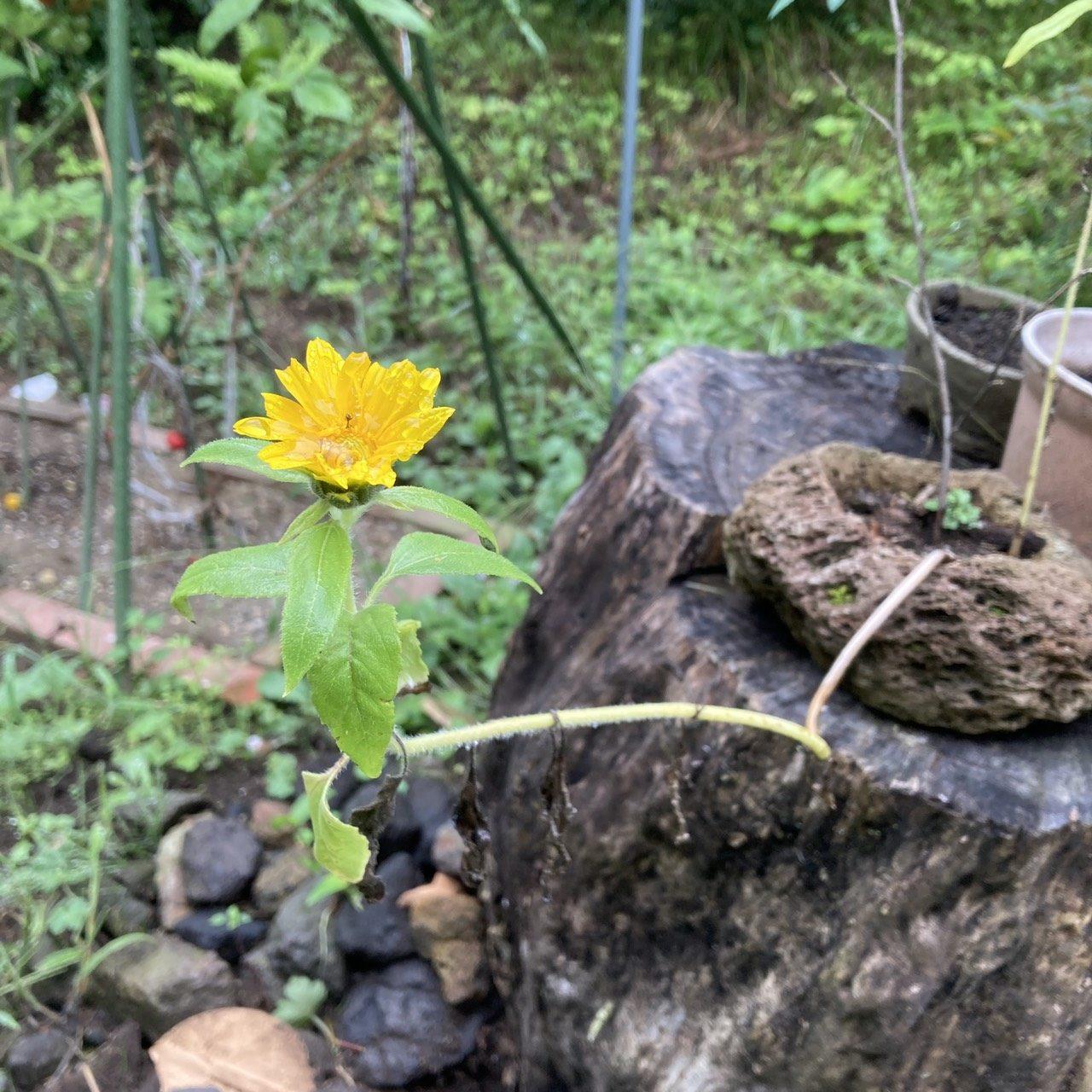 石から生えた向日葵