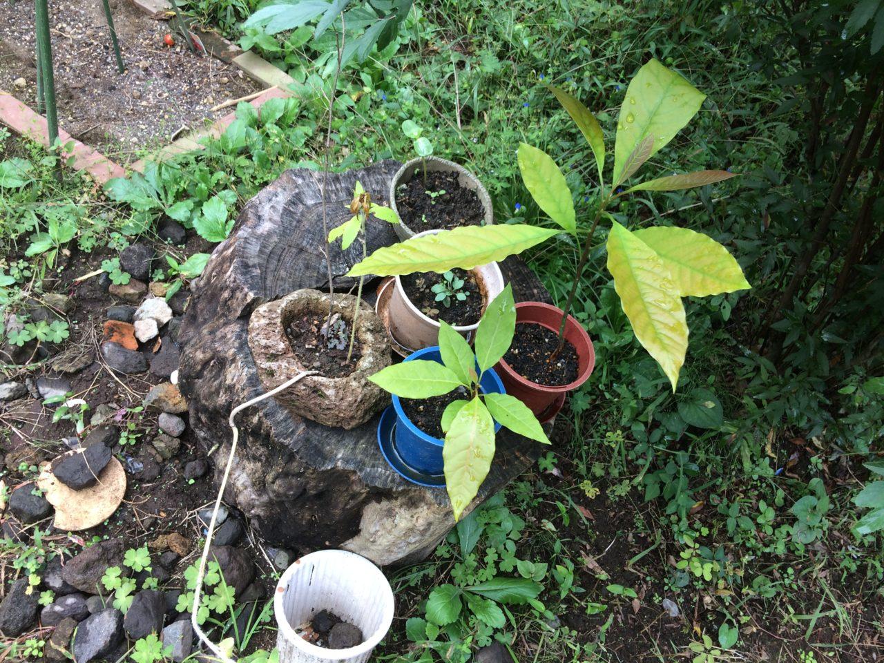 食べ終わったアボカドの種を植えたら芽が出た