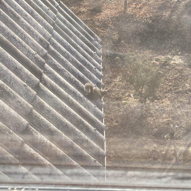 屋根駆けるリス