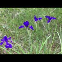 アヤメの開花