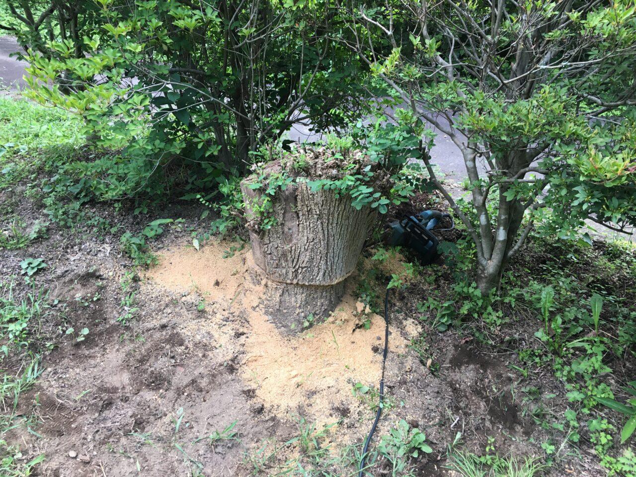 槐の切り株をカット