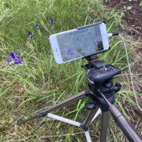 iPhoneでアヤメの開花を撮影