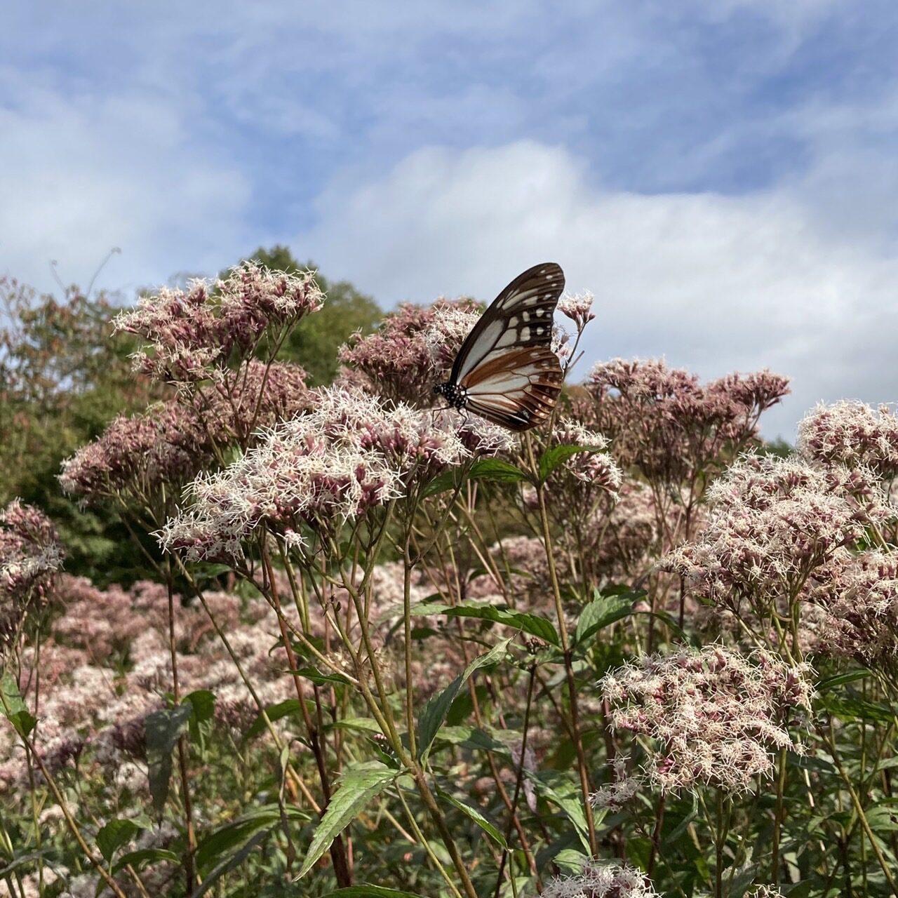 山の上庭園のアサギマダラ