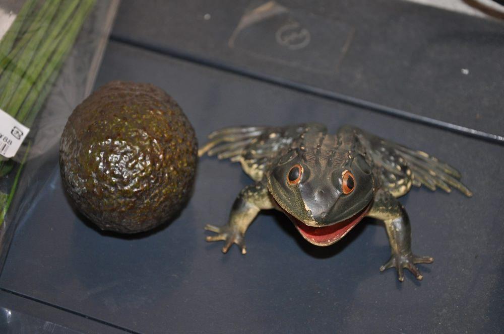 カエルとアボガドは似ている